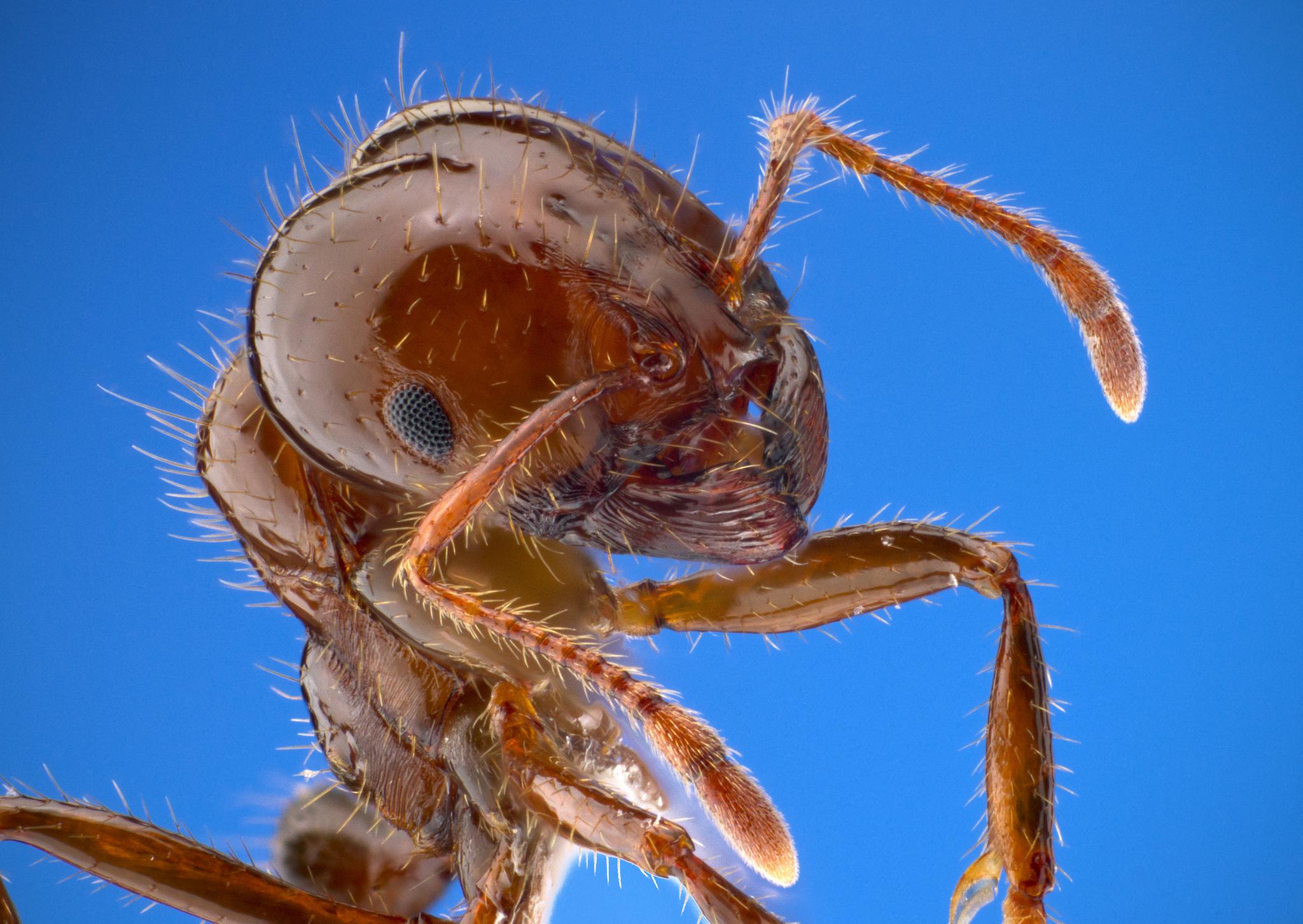 Fire Ants, Crazy Ants & Zombie Ants