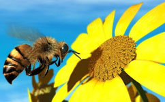 bee_pollination2