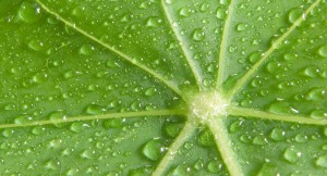Drops of water on a Leaft