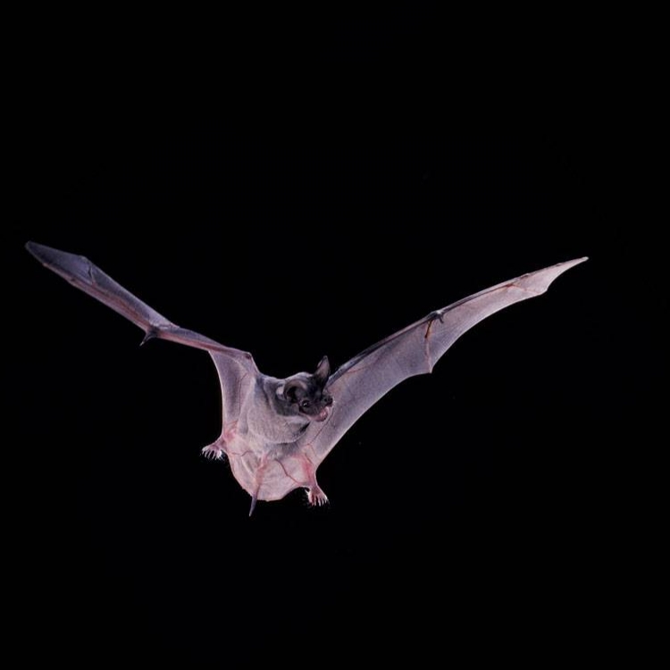 Seeing the World Through Their Ears: The Exotic World of Bats